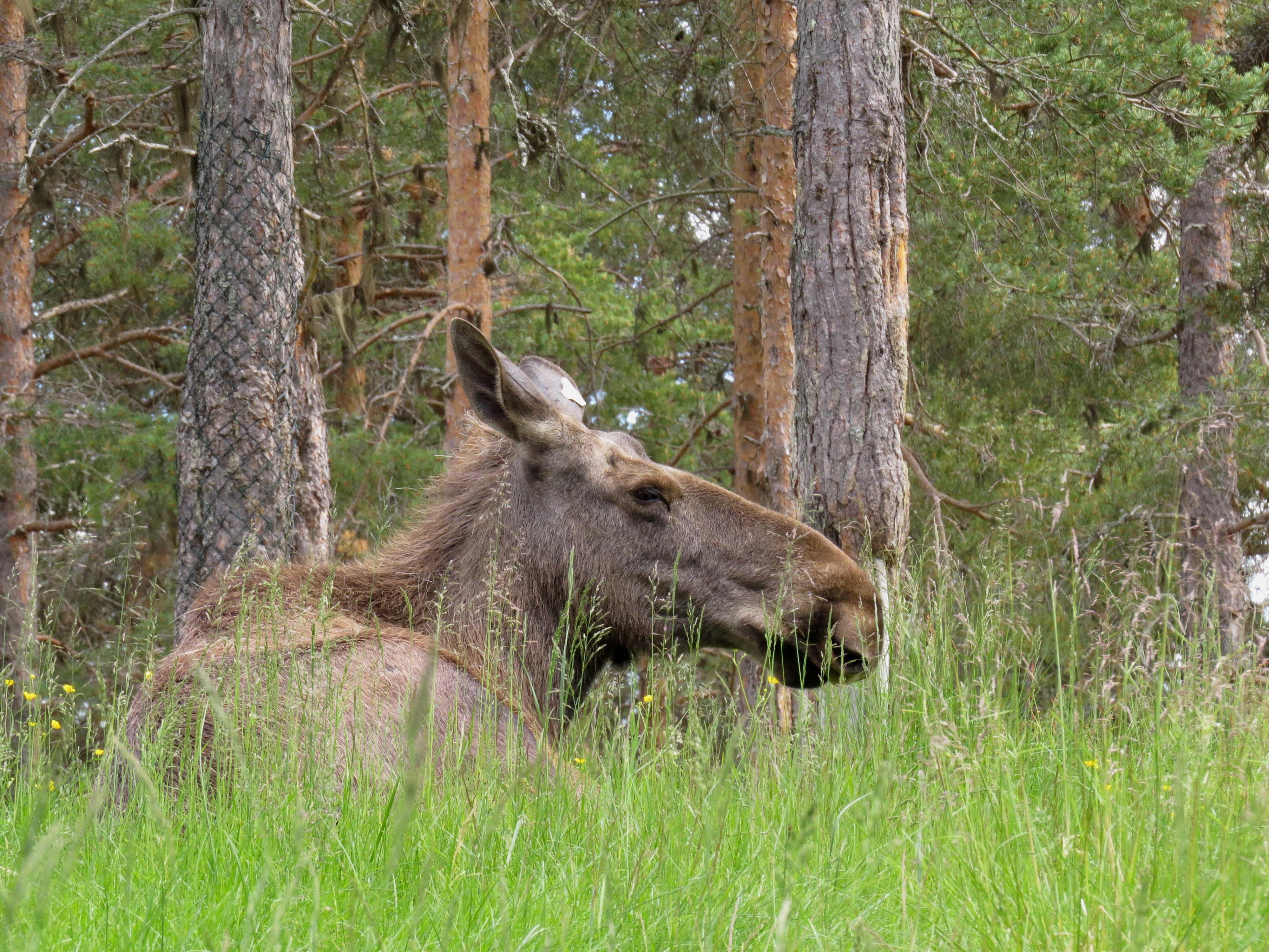 älgar I Lycksele Djurpark Däggdjur Mina Foton Ifokus